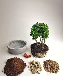 bonsai aranjman
