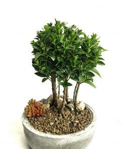 hediyelik ev bitkisi